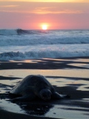 Olive Ridley in Ostinal, Costa Rica